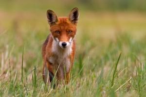 fcfee2babf0 WILDLIFE FOTOFÓRUM • Zobrazit téma - Liška obecná - Vulpes vulpes