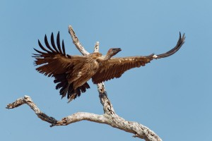 Sup africky - Gyps africanus - White-backed Vulture o5206.jpg